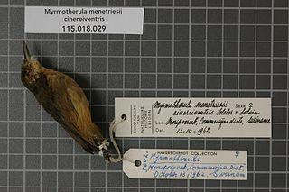 Grey antwren Species of bird