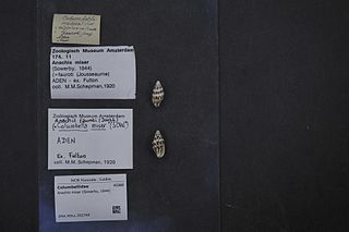 <i>Anachis miser</i> Species of gastropod