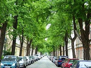 Naturdenkmal Ginkgos Hans-Sachs-Straße Pieschen 7.JPG