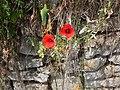 Natursteinmauer mit wildem Mohn.jpg