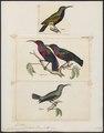 Nectarinia splendida - 1700-1880 - Print - Iconographia Zoologica - Special Collections University of Amsterdam - UBA01 IZ19000005.tif