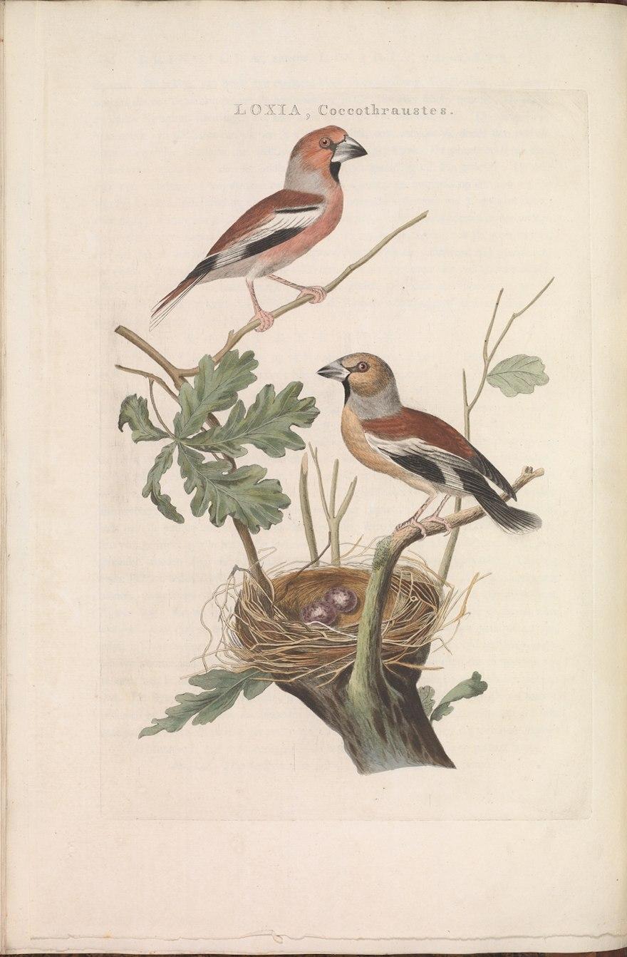 Nederlandsche vogelen (KB) - Coccothraustes coccothraustes (136b)