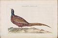 Nederlandsche vogelen (KB) - Phasianus colchicus (158b).jpg