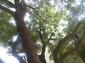 Neem tree from botttom.jpg