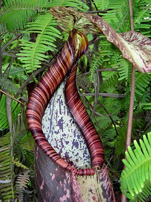 Nepenthes rafflesiana - Detail of the peristome on a lower pitcher.