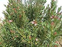 Nerium wikipedia oleander shrub morocco mightylinksfo