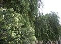 Nerium oleander et Shinus molle.jpg