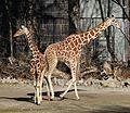 Netzgiraffe (Giraffa camelopardalis reticulata) Tierpark Hellabrunn-27.jpg
