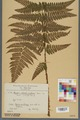 Neuchâtel Herbarium - Dryopteris dilatata x paleacea - NEU000000925.tiff