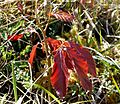 New Beech Leaves - Flickr - gailhampshire.jpg