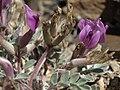 Newberry milkvetch, Astragalus newberryi var. newberryi (45653462115).jpg