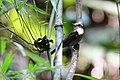 Nicobar jungle Flycatcher.jpg