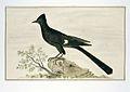 Nieuwjaarsvogel (Clamator jacobinus).jpeg