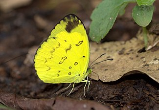 Nilgiri Grass Yellow Eurema Nilgiriensis from Kakkayam Kerala India IMG 7538.jpg