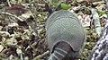Nine-banded Armadillo (Dasypus novemcinctus). Armadillo running off (38355897872).jpg