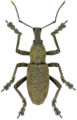 Niphetoscapha sp., male.tif