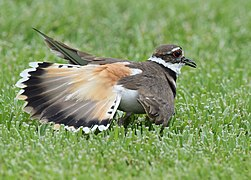 No one can fake an injury like a Killdeer (34125990963).jpg