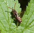 Nomada species. ( N. flava group ), possibly N. ruficornis. - Flickr - gailhampshire.jpg