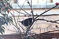 Noordwijk - Turdus merula sitting in a garden tree.jpg