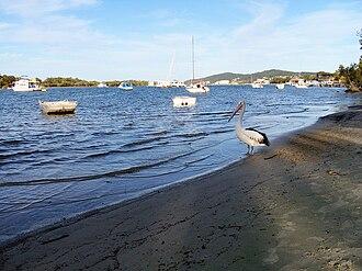 Noosaville, Queensland - A pelican on Noosa River, Noosaville.