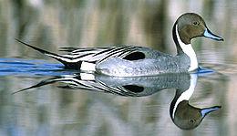 Northern Pintail.jpg
