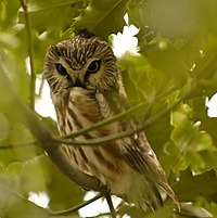Northern Saw-whet Owl, Reifel BC 3.jpg
