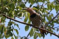 Northern flicker (Colaptes auratus chrysocaulosus) female.JPG