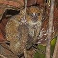 Nosy Be mouse lemur (Microcebus mamiratra).jpg