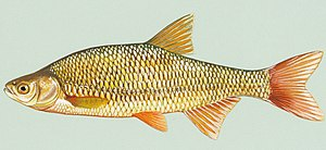Golden shiner - Image: Notemigonus crysoleucas 1