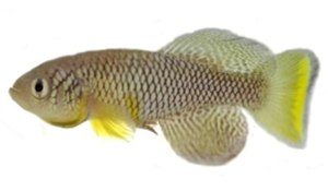 Killifish - A male Nothobranchius furzeri GRZ  (from Gonarezhou National Park)
