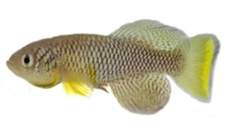 Killifish - A male Nothobranchius furzeri GRZ  (from Gonarezhou National Park)