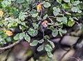 Nothofagus solandri at Hope Saddle Lookout 02.jpg