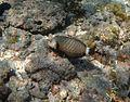 Novaculichthys taeniourus Réunion.jpg
