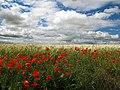Nubes, trigo y las rosas de los campos (14342978493).jpg