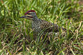 Nubian Woodpecker - Naivasha Kenya 06 1071 (15790452763).jpg