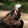 Nubian vulture.jpg