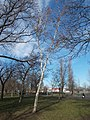 Nyírfa a Kőrakás parkban, 2018 Újpalota.jpg