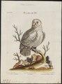Nyctea nivea - 1700-1880 - Print - Iconographia Zoologica - Special Collections University of Amsterdam - UBA01 IZ18400019.tif