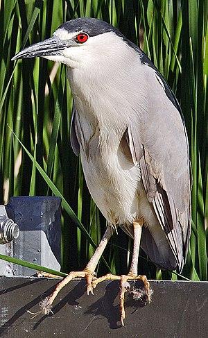 Nycticorax - Black-crowned night heron (Nycticorax nycticorax)