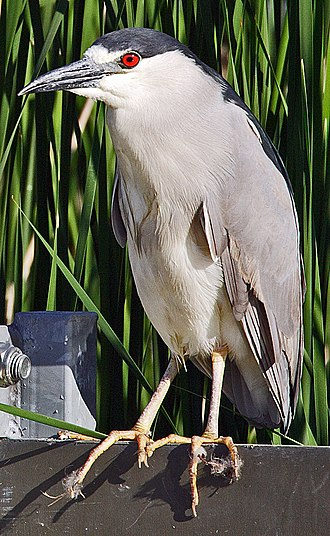 Nycticorax - Black-crowned night heron (Nycticorax nycticorax)