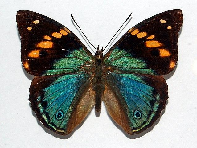 Bộ sưu tập cánh vẩy 4 - Page 4 639px-Nymphalidae_-_Apaturina_erminea_papuana