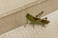Obscure Bird Grasshopper (Schistocerca obscura) Virginia 2.jpg