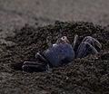 Ocypode ceratophthalma (Kauai, Hawaii).jpg