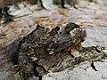 Odontosia sieversi - Хохлатка Сиверса (40217260880).jpg