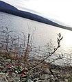 Oenothera argillicola seedpods.jpg