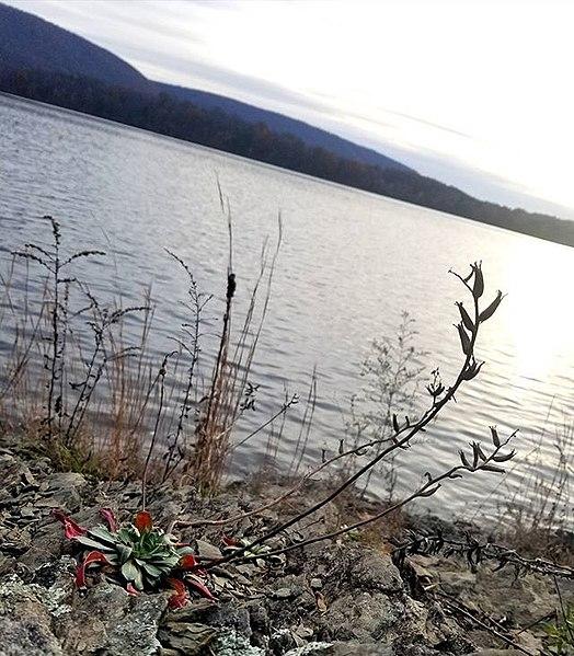 File:Oenothera argillicola seedpods.jpg