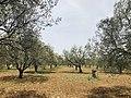 Olive groves in Gömeç, Balıkesir.jpg