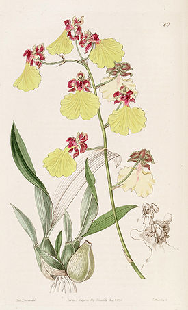 Oncidium spilopterum - Edwards vol 31 (NS 8) pl 40 (1845).jpg