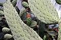 Opuntia repens 5zz.jpg