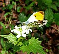 Orange-tip male. Anthocharis cardamines - Flickr - gailhampshire.jpg